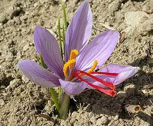 03414_crocus-sativus_122_139lo.jpg