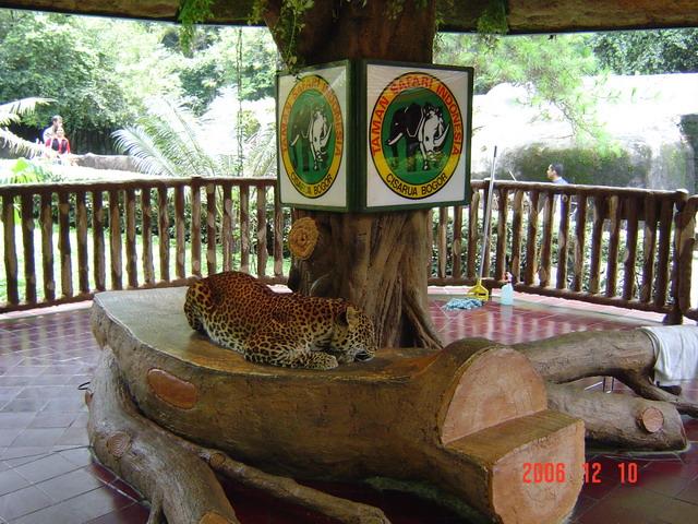 45077_leopard_122_367lo.jpg